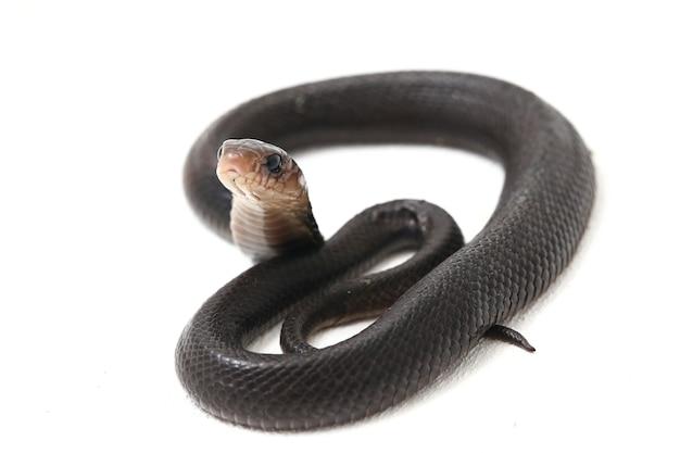 Gros plan, de, javan, cracher, cobra