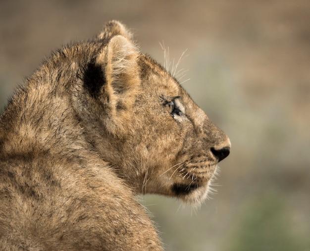 Gros plan, de, a, jeune lion, serengeti, tanzanie, afrique