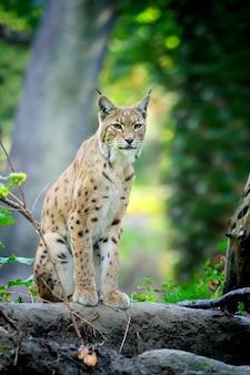 Gros plan jeune lynx au printemps