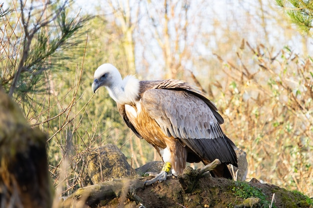 Gros plan d'un jeune vautour perché sur un vieux journal avec une étiquette jaune sur son pied