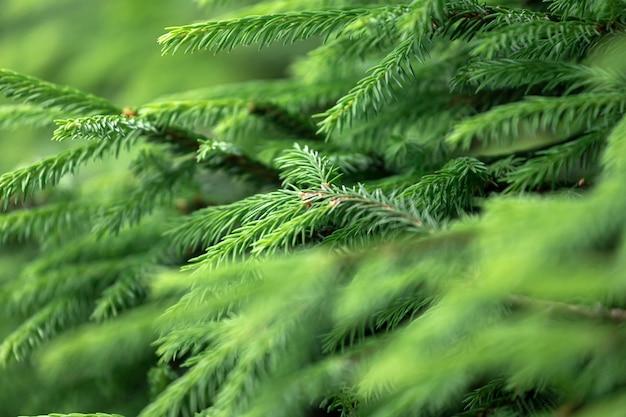 Gros plan des jeunes branches d'épinette vert vif sur un arrière-plan flou vert