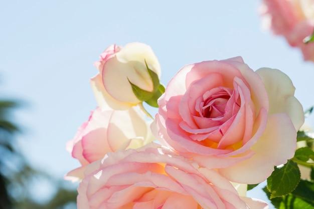 Gros plan joli bouquet de roses blanches