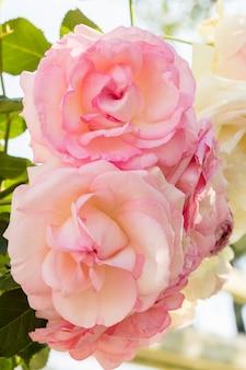 Gros plan joli bouquet de roses roses