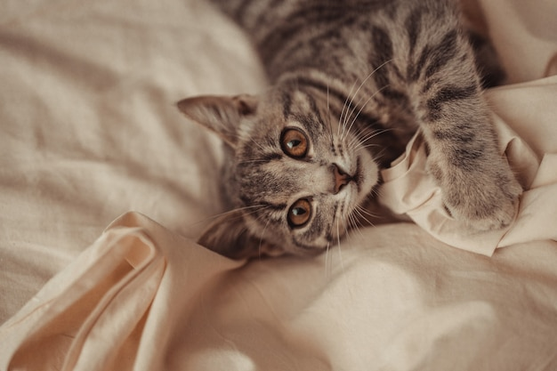 Gros plan d'un joli chat rayé gris tigré aux yeux bruns se détend sur un fond de lit beige dans un lit a...