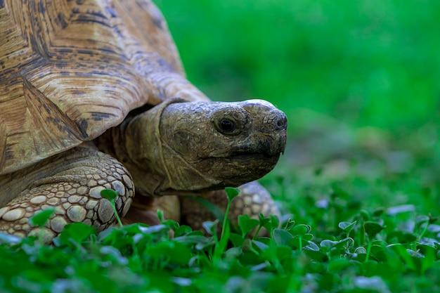 Gros plan d'une jolie tortue allongée dans l'herbe verte. namibie