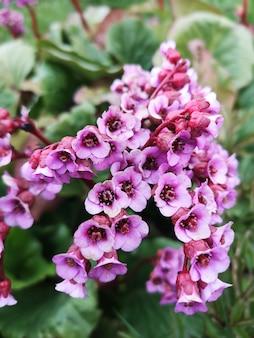 Gros plan de la journée d'été des plantes à fleurs de jardin à feuilles épaisses de badan. bergenia crassifolia.
