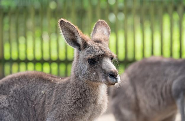 Gros plan: kangourou
