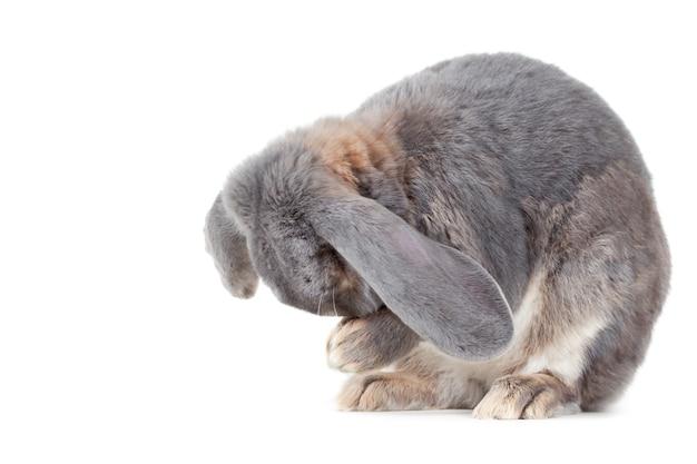 Gros plan d'un lapin gris
