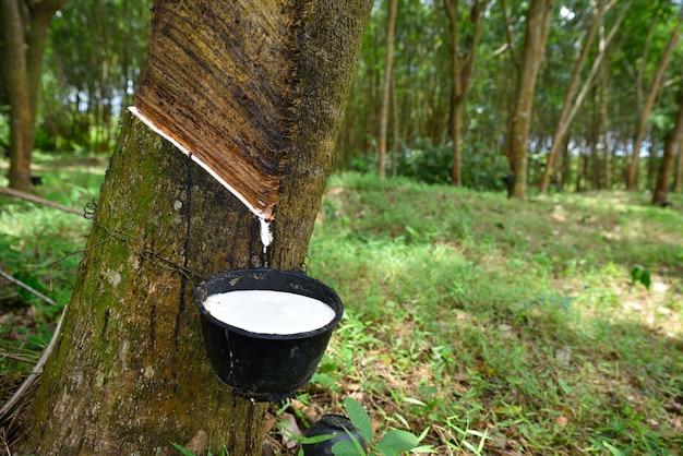 Gros plan latex de caoutchouc naturel piégé dans l'hévéa, latex de caoutchouc s'écoule dans un bol