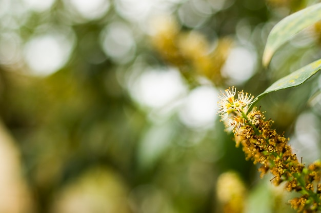 Gros plan de laurier cerise et macro, plante en fleur
