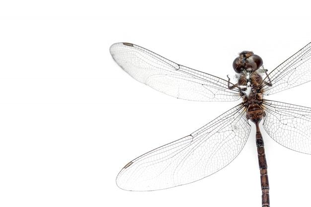 Gros plan libellule farci isolé sur fond blanc, vue de dessus