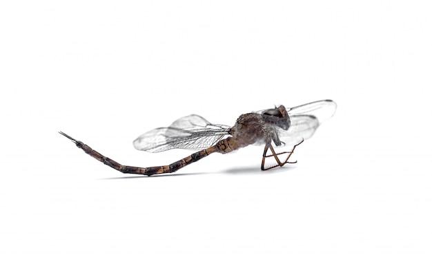 Gros plan libellule farci isolé sur fond blanc