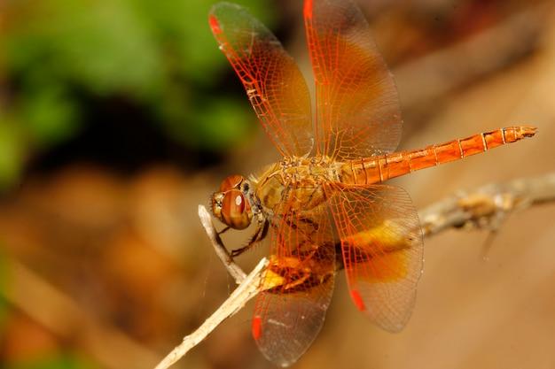Gros plan d'une libellule orange dans un jardin en thaïlande