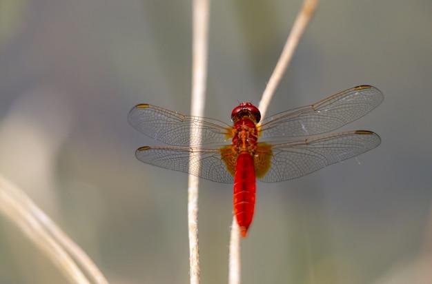 Gros plan de libellule rouge sur plante