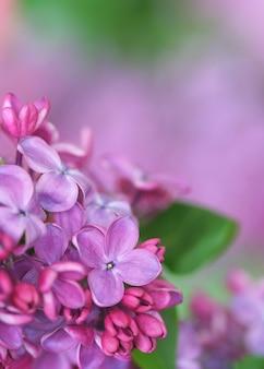 Gros plan de lilas
