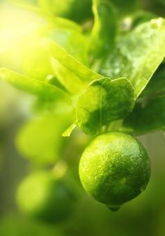 Gros plan de limes fraîches et vertes sur l'arbre.