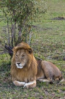 Gros plan sur lion énorme roi des bêtes