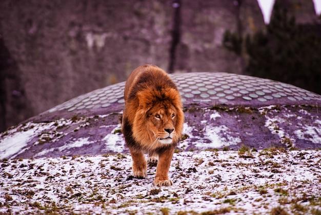 Gros plan sur le lion mâle d'afrique en captivité