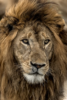 Gros plan d'un lion mâle dans le parc national du serengeti