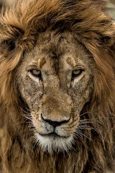 Gros Plan D'un Lion Mâle Dans Le Parc National Du Serengeti Photo Premium