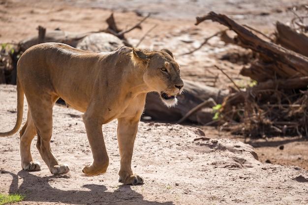 Gros plan sur le lion marchant dans la savane