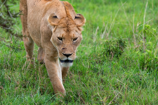 Gros plan de lionne sauvage dans la savane
