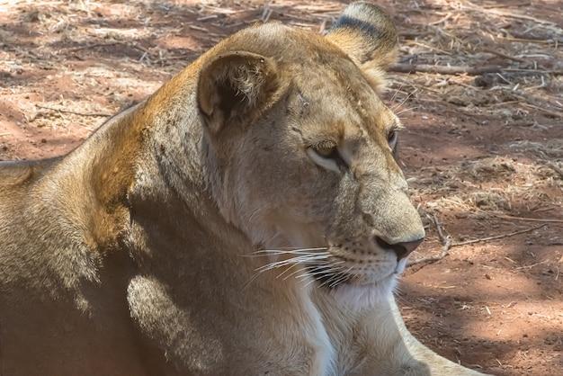 Gros plan d'une lionne