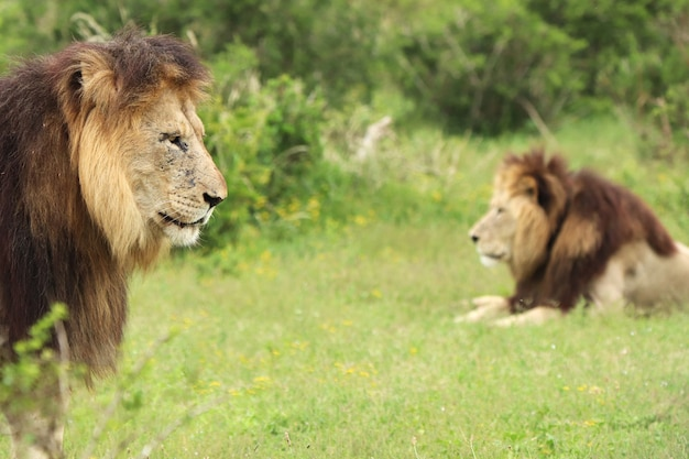 Gros plan de lions dans un champ couvert de verdure sous la lumière du soleil