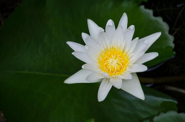Gros plan sur le lotus blanc