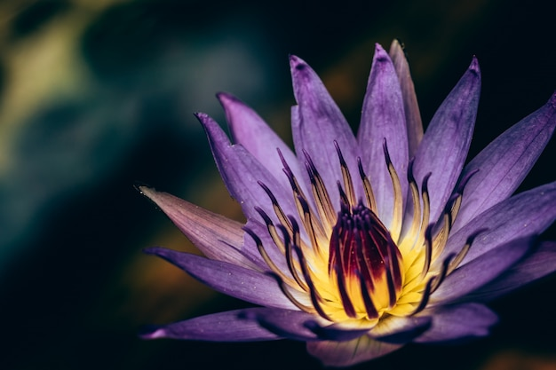 Gros plan de lotus pourpre qui fleurit