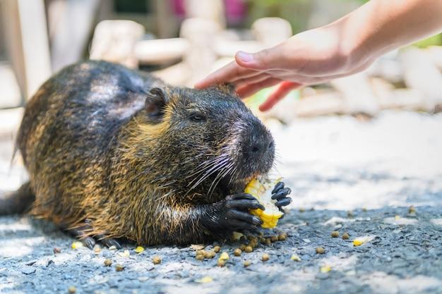 Gros plan d'une loutre eurasienne lutra lutra mangeant un maïs et une petite touche de main sur la tête, concept animal