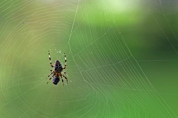 Gros plan macro d'une araignée avec une mouche fraîchement pêchée et le web