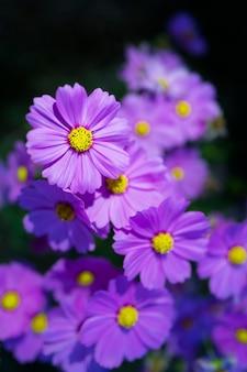 Gros plan macro fleur violette cosmos (cosmos bipinnatus)