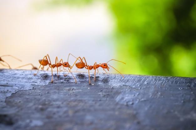Gros plan macro de fourmi rouge sur le bois