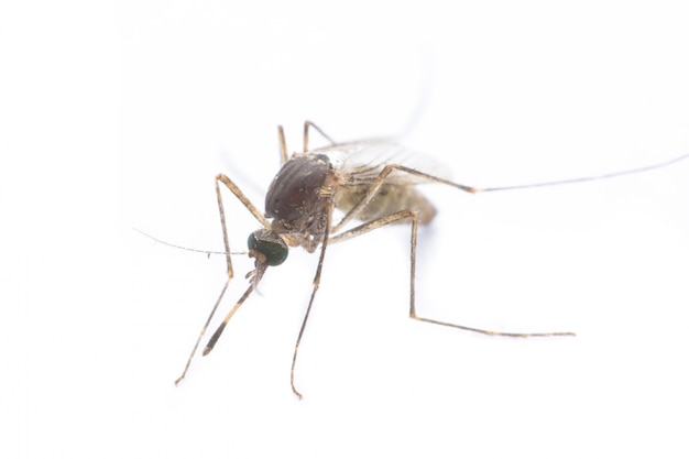 Gros plan ou macro d'un moustique sur blanc