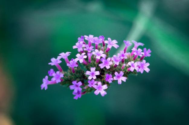 Gros plan macro de petites fleurs violettes vives