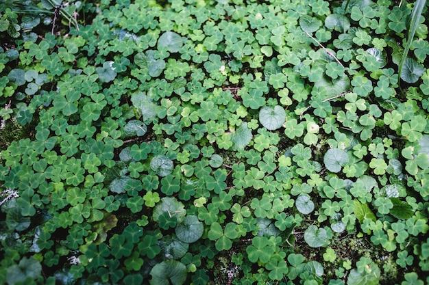 Gros plan macro photo d'une texture de fond de trèfle vert forêt dans les montagnes sauvages