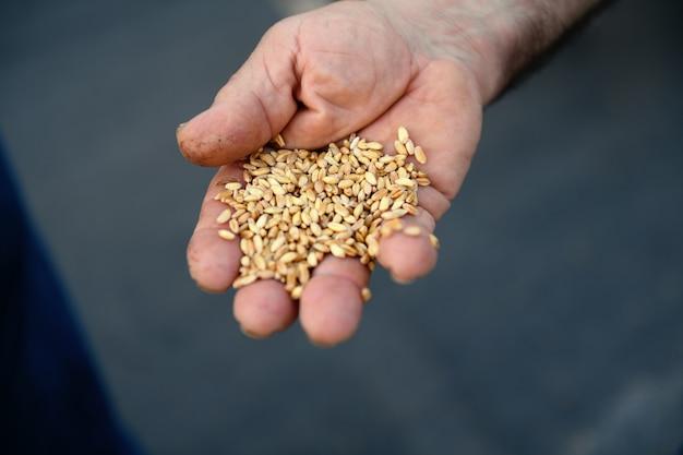 Gros plan de la main des agriculteurs authentiques avec des grains de blé