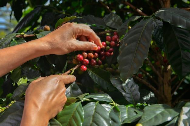 Gros plan sur la main des agriculteurs cueillant une branche de caféier arabicas sur un caféier dans la province de nan, dans le nord de la thaïlande, spécialité de classe de mots d'origine unique en grains de café.
