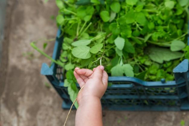 Gros plan d'une main d'enfant tenant un brin d'herbe dans la serre d'une maison de campagne