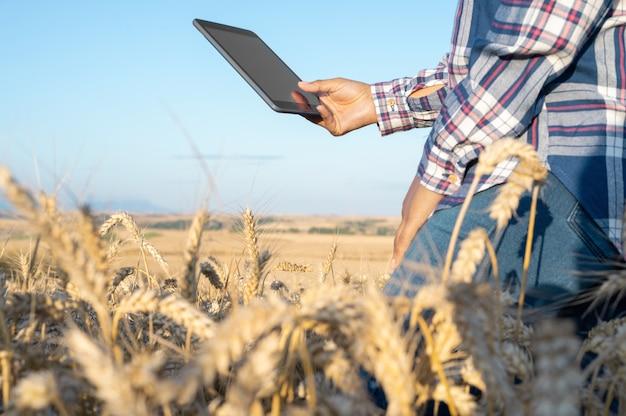 Gros plan d'une main de femme touchant un tablet pc dans des tiges de blé agronome recherchant l'agriculteur d'épis de blé nous...