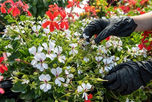 Gros plan sur une main de jardinier portant des gants ramassant des fleurs dans une serre industrielle. botanique