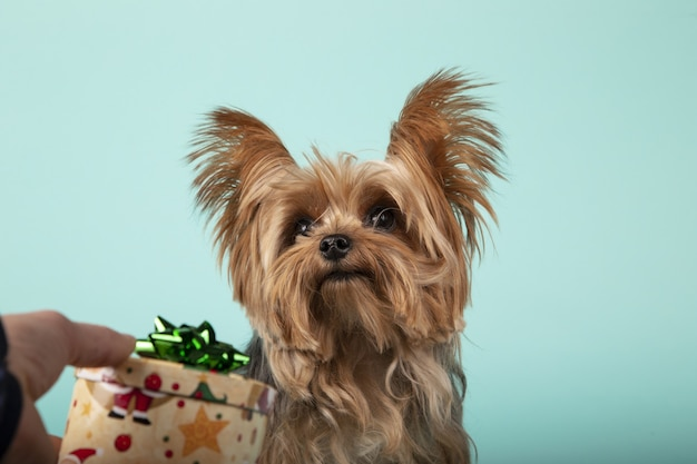 Gros plan d'une main masculine offrant un cadeau à un adorable yorkshire terrier sur un mur vert
