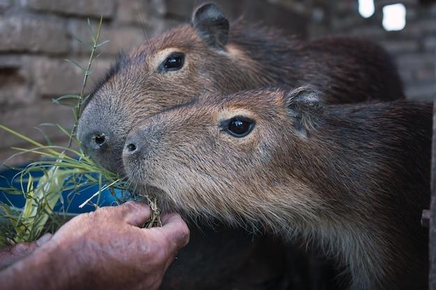 Gros plan sur une main nourrissant des capybaras.