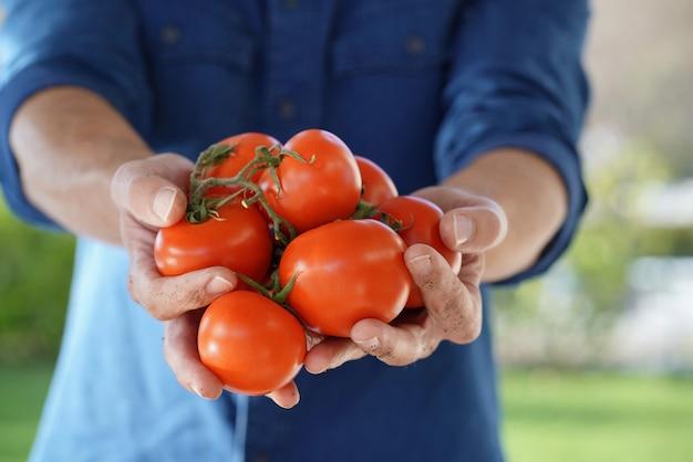 Gros plan des mains de l'agriculteur local tenant des tomates biologiques