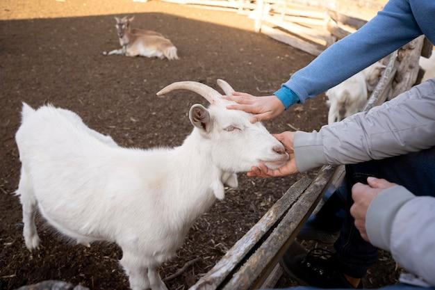 Gros plan des mains caressant la chèvre