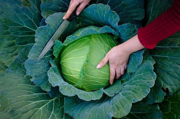 Gros plan des mains féminines qui récoltent un chou frais vert poussant à maturité dans le domaine agricole