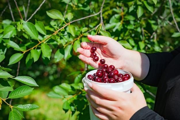 Gros plan des mains de femme cueillant des cerises mûres de la branche d'arbre.