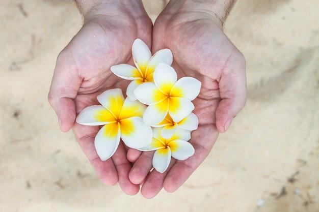 Gros plan, de, mains mâles, tenant, fleur tropicale plumeria