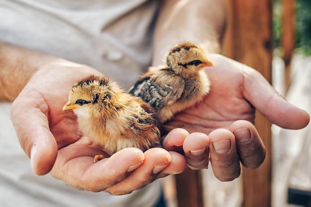 Gros plan des mains tenant de petits poussins nouveau-nés